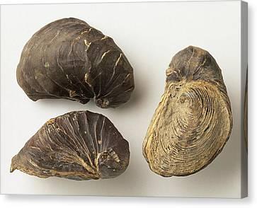 Fossilised Exogyra Africana Oyster Shells Canvas Print by Dorling Kindersley/uig