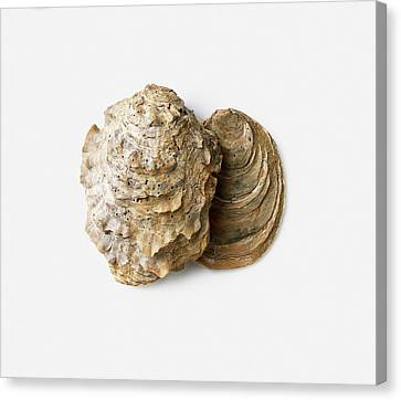 Fossilised Oyster Shells Canvas Print by Dorling Kindersley/uig
