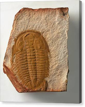 Fossilised Xystridura Trilobite Canvas Print by Dorling Kindersley/uig