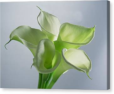 Four Arum Lilies Canvas Print by Norman Hollands
