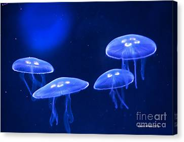 Four Blue Moon Jellyfish Canvas Print by Artist and Photographer Laura Wrede