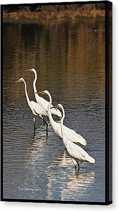 Canvas Print featuring the photograph Four Egrets Fishing by Tom Janca
