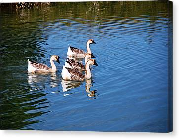 Four Geese A Swimming Canvas Print by Linda Segerson
