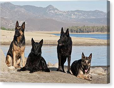 Four German Shepherds Together Canvas Print by Zandria Muench Beraldo