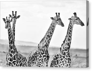Four Giraffes Canvas Print