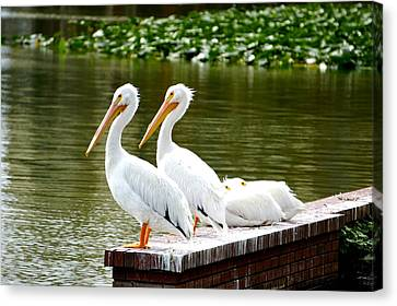 Flying White Pelicans Canvas Print - Four In A Row by Laurie Perry