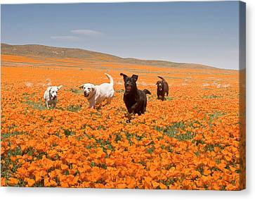 Four Labrador Retrievers Running Canvas Print by Zandria Muench Beraldo