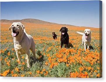 Four Labrador Retrievers Standing Canvas Print by Zandria Muench Beraldo