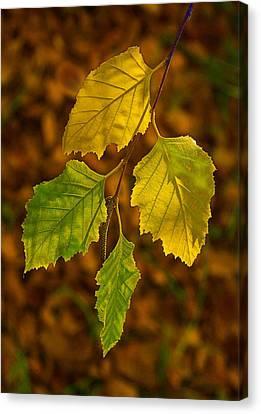 Four Leaves In Light Canvas Print by Viktor Savchenko