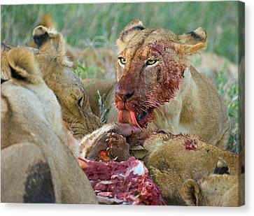 Four Lioness Eating A Kill, Ngorongoro Canvas Print by Panoramic Images