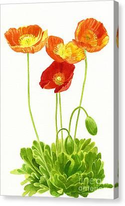 Four Orange Poppies With White Background Canvas Print by Sharon Freeman