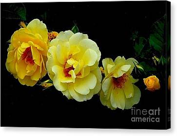 Four Stages Of Bloom Of A Yellow Rose Canvas Print