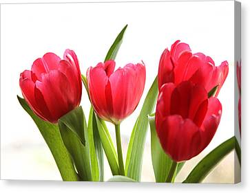 Four Tulips Canvas Print by Menachem Ganon