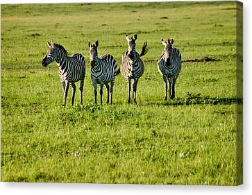 Four Zebras Canvas Print by Menachem Ganon