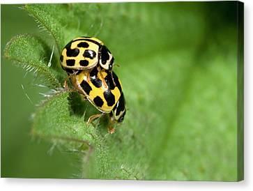 Beetle Canvas Print - Fourteen-spot Ladybirds by Nigel Downer