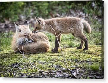 Fox And Parent Canvas Print