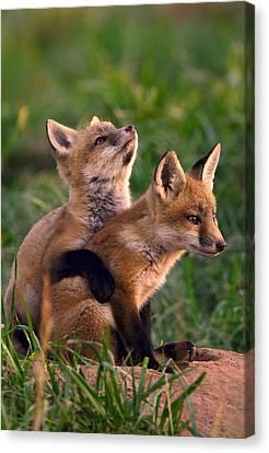 Fox Kits Canvas Print - Fox Cub Buddies by William Jobes