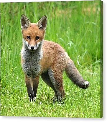 Fox Kit Canvas Print - Fox Cub Watching You by Gill Billington