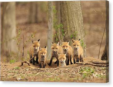 Fox Family Portrait Canvas Print by Everet Regal