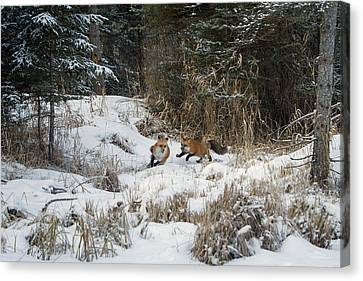Fox Hollow Canvas Print by Jack Bell