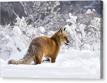 Fox In The Snow Canvas Print by Roeselien Raimond