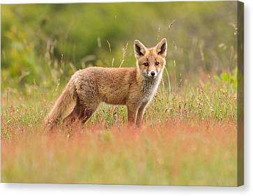 Kit Fox Canvas Print - Fox Kit In A Field Of Sorrel by Roeselien Raimond