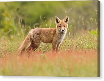 Fox Kit In A Field Of Sorrel Canvas Print by Roeselien Raimond