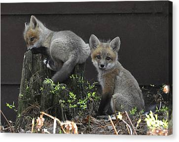 Fox Kit Siblings Canvas Print by RJ Martens
