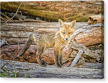 Fox Kit Canvas Print by Todd Bielby