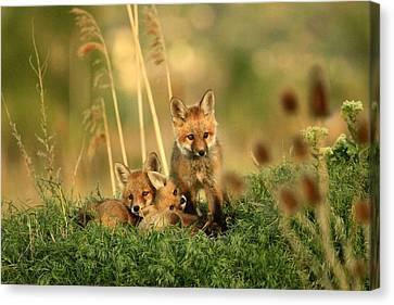 Fox Kits Iv Canvas Print