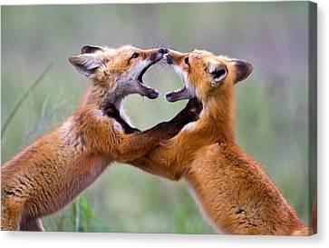 Fox Kits Canvas Print by Merle Ann Loman