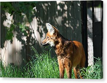 Fox - National Zoo - 01133 Canvas Print by DC Photographer