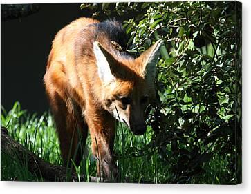 Fox - National Zoo - 01134 Canvas Print