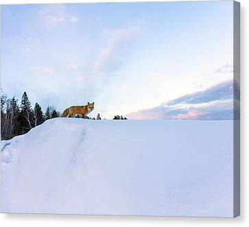 Fox Of The North IIi Canvas Print