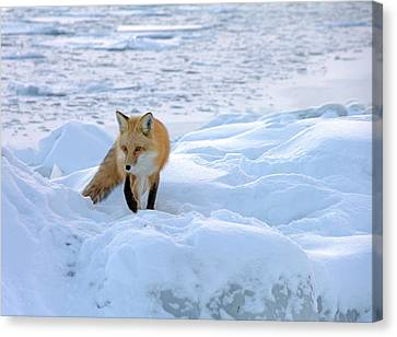 Fox Of The North II Canvas Print