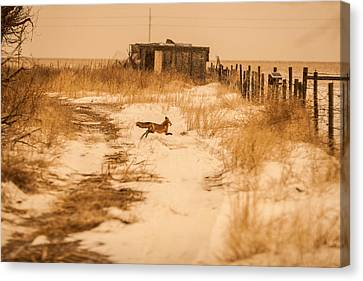 Fox On The Run Canvas Print by Shirley Heier