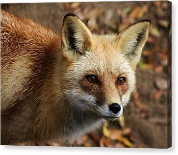 Fox Canvas Print by Paulette Thomas
