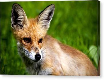 Fox Pup Canvas Print by Fabrizio Troiani
