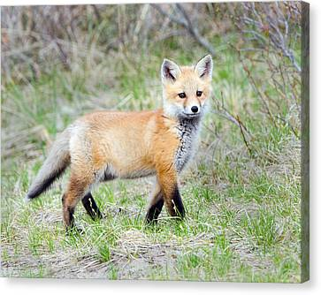 Fox Pup  Canvas Print by Stephen Flint
