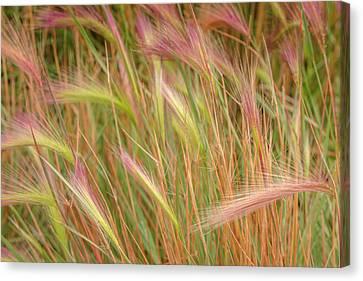 Perennial Canvas Print - Fox-tail Barley, Hordeum Jubatum by Maresa Pryor