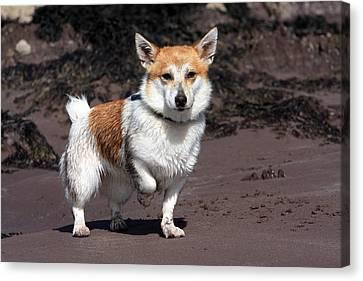 Terrier At The Beach Canvas Print by Aidan Moran