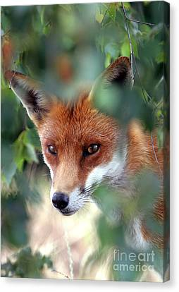 Fox Through Trees Canvas Print by Tim Gainey