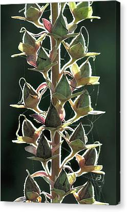 Foxglove (digitalis Purpurea) Seedpods Canvas Print by Colin Varndell