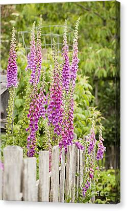 Foxglove Fence Canvas Print by Anne Gilbert