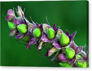 Foxglove Seed Pods Canvas Print by Colin Varndell