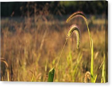 Foxtail Grass - Indian Summer Canvas Print by Annette Gendler
