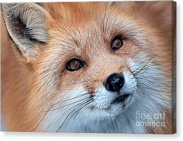 Foxy Lady Canvas Print by Bianca Nadeau