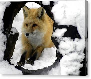 Foxy View Canvas Print
