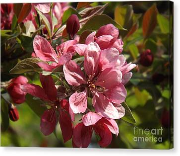 Fragrant Crab Apple Blossoms Canvas Print by Brenda Brown