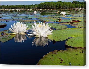 Fragrant Water Lilies On Caddo Lake Canvas Print